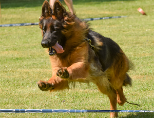 Ring Training for a German Shepherd