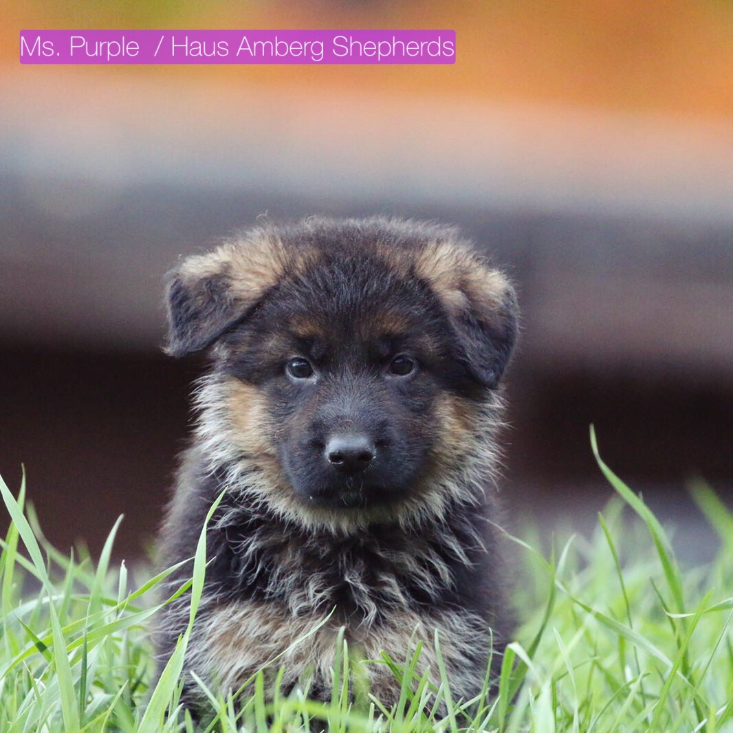 essay on german shepherd Essay the australian shepherd started out as a  essay/term paper: aussie (dog) essay, term  most guide dogs are larger breeds, such as german shepherds or.