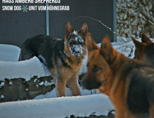 Why Does the German Shepherd Love Snow?