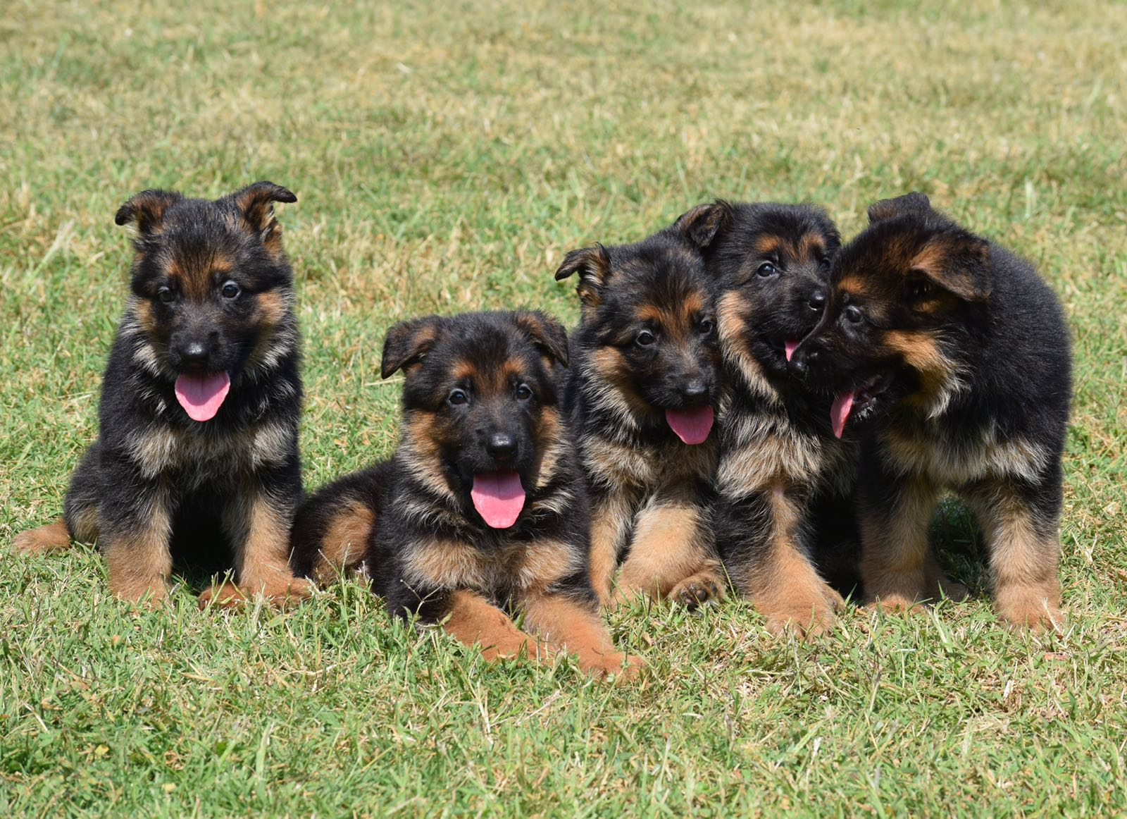 Litter Announcement Veah And Xentos Located In Okc Akc Papers