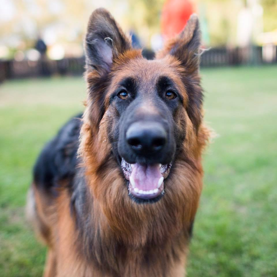 german-shepherd-dogist